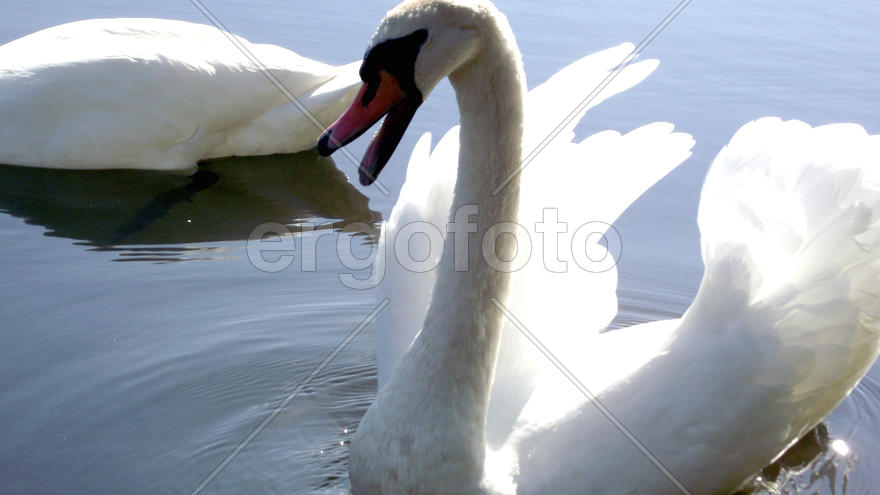 White swans on lake in Zhitomir. Ukraine. Magnificent fishing. Excellent rest