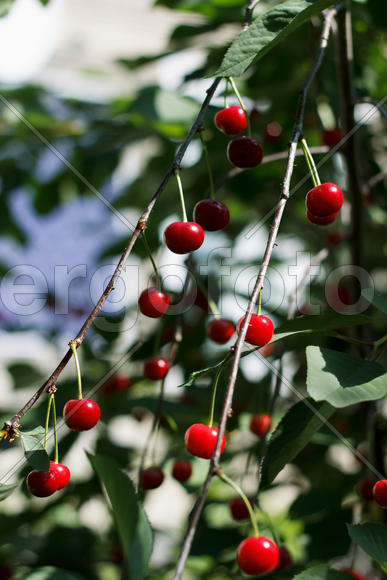 Ripe berries cherry on a branch in an fruit orchard