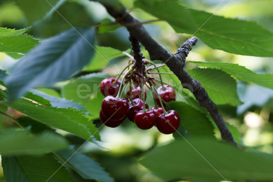 Ripe berries sweet cherry on a branch in an fruit orchard