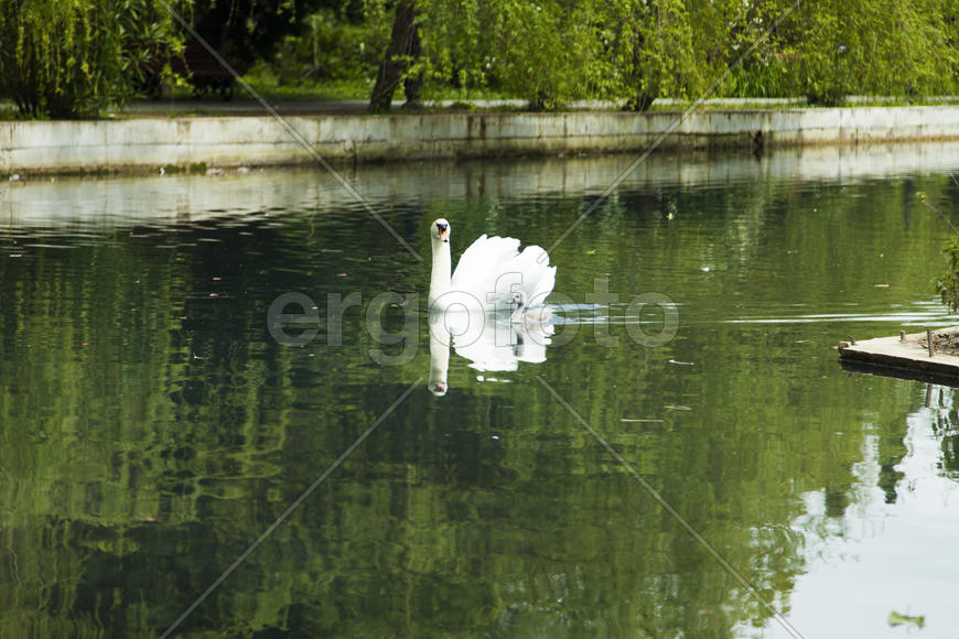 Swans in a pond float in search of food and rejoice to heat