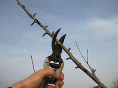 Pruning shears trees. Work in the garden of. Cutting branches, restoring order. Caring for the trees