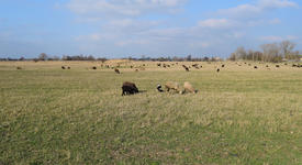 Sheep in the pasture. Grazing sheep herd in the spring field near the village. Sheep of different