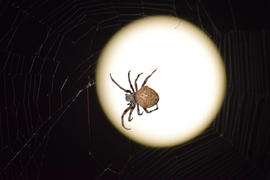 Araneus Spider on the background of the moon. Night spider on its web