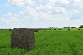 Haystacks rolled up in bales of alfalfa. Forage for livestock in winter