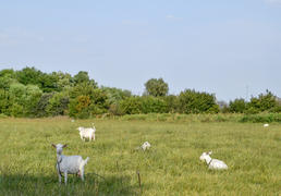 Goats grazing in the meadow. White goat dairy cattle eating grass in a pasture.