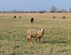 Sheep in the pasture. Grazing sheep herd in the spring field near the village. Sheep of different br