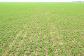 Spring winter wheat field. Shoots of wheat in a field on the ground. Cultivation of cereals