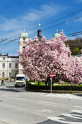 Flowering tree in the town square