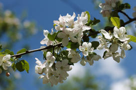 Spring blossoming apple-trees on blue sky