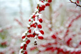 Branch with fruit of the barberry is covered with snow