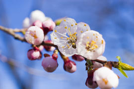 Flowers on a fruit tree are pleasing to the eye and give hope for a big harvest