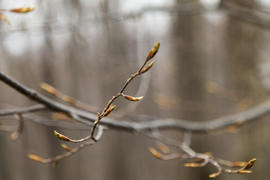Young leaves on trees appear from kidneys in the spring