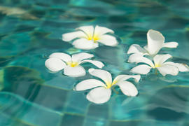 Beautiful tropical flowers swim in the pool with blue water