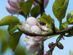 The blossoming apple-tree is going to bring apples in the fall
