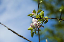 The blossoming apple-tree pleases people in the flowers and future apples