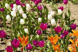 The sea of tulips under a bright sun pleases people