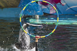 Dolphins in a dolphinarium address the audience and are very happy