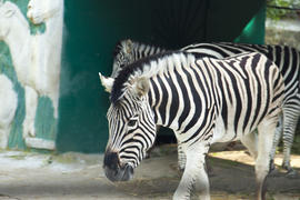 The zebra in a zoo very much wants to eat