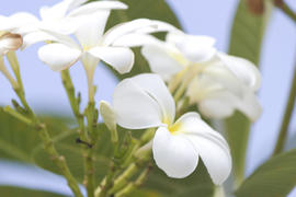 Beautiful tropical flowers blossom and smell on pleasure to people