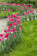 Tulips blossom on a bed in any weather and please people with beauty