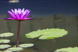 Water-lilies in a pond blossom in the different flowers on pleasure to people