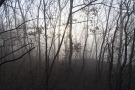 Fog in the wood surrounds naked trees in the early spring