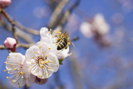 The bee on a fruit tree collects nectar and pollinates flowers