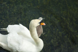 Swans in a pond float in search of food and pose for photographers