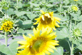 Sunflowers in the field attentively watch the sun and turn behind it