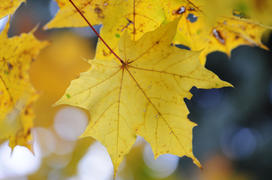 Yellow backlit fall maple leaves glowing