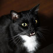 Black, sleek-haired cat with a white chin and a breast, expressive eyes and long moustaches